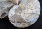 MOTHER OF PEARL AMMONITE WITH TOOTH MARK - MAASTRICHTIAN, MONTANA